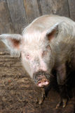 农村的猪 库存图片