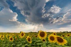 农村领域的向日葵植物,描出在与积云的风雨如磐的天空 免版税图库摄影