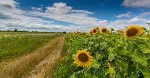 农村领域的向日葵植物,描出在与积云的风雨如磐的天空 库存图片