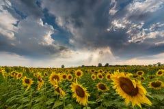农村领域的向日葵植物,描出在与积云的风雨如磐的天空 免版税库存照片