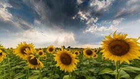 农村领域的向日葵植物,描出在与积云的风雨如磐的天空 库存照片