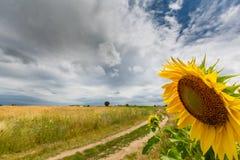 农村领域的向日葵植物,描出在与积云的风雨如磐的天空 免版税库存图片