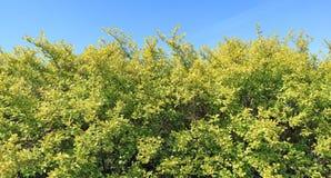 农村绿色树篱的长的片段 免版税库存图片