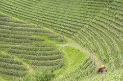 农用拖拉机在葡萄园里 免版税库存照片