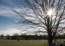 农田、牛、树和旭日形首饰 免版税库存照片