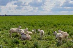 农田新西兰哺乳动物的夏天畜牧业牛农村山羊产小羊天空吃草牧群草甸绿色绵羊的乡下群 免版税库存图片