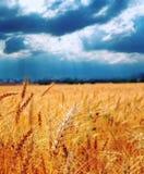 农田生长收获准备好的麦子 免版税图库摄影
