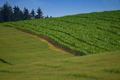 农田用玉米和五谷在一个晴天 库存照片