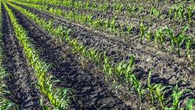 农田的年轻甜玉米植物 库存照片