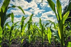 农田的-极端低角度射击年轻甜玉米植物 免版税库存图片