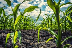 农田的-极端低角度射击年轻甜玉米植物 库存照片