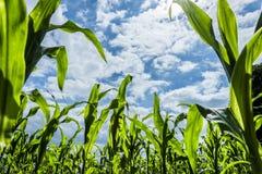 农田的-极端低角度射击年轻甜玉米植物 免版税库存照片