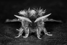 农神蛾家庭的一只大飞蛾 免版税图库摄影