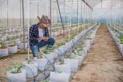 农艺师审查在农场、农夫和研究员的生长瓜幼木对植物的分析的 库存图片