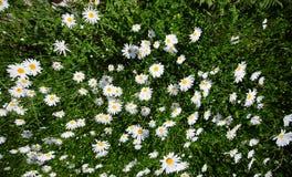冠上在绿草和camomiles下的美好的领域作为backgro 免版税库存图片