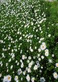 冠上在绿草和camomiles下的美好的领域作为backgro 免版税库存照片