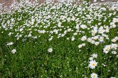 冠上在绿草和camomiles下的美好的领域作为backgro 库存照片