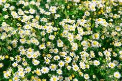 冠上在绿草和camomiles下的美好的领域作为backgro 图库摄影