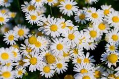 冠上在绿草和camomiles下的美好的领域作为backgro 免版税图库摄影