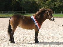 冠军Exmoor小马 免版税库存照片