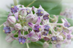 冠开花两浅紫色的口气 免版税库存图片