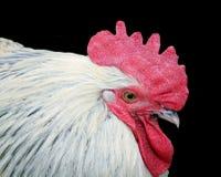 冠查出的红色雄鸡白色 库存照片