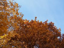 冠槭树在秋天 在树枝的金黄秋叶 免版税库存图片