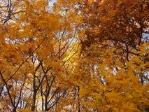 冠槭树在秋天 在树枝的金黄秋叶 库存图片