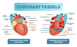 冠状船解剖医疗保健传染媒介例证标记了图 心脏与血管计划的血流系统 向量例证