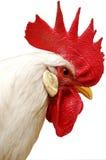 冠红色雄鸡白色 库存图片