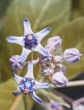 冠花紫罗兰色颜色花 免版税库存照片