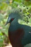 冠鸽子维多利亚 库存图片