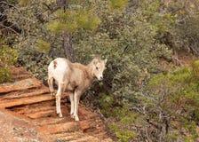 冥想从红砂岩一个高壁架的一只年轻沙漠大有角的绵羊一个跃迁  库存图片