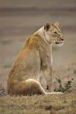 冥想雌狮 库存图片