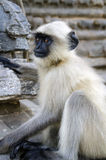 冥想猴子 免版税库存照片
