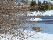 冬天、枝杈、河和鹿DOF 库存图片