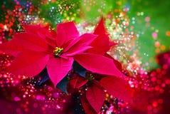 冬天上升了,一品红-红色冬天/圣诞节花-欢乐bokeh,透镜火光,光 库存照片