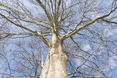 冬天不生叶的桦树 库存照片