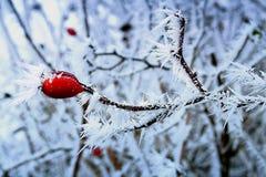 冬天与冰晶的结冰的野玫瑰果细节  库存图片