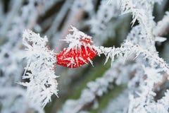 冬天与冰晶的结冰的野玫瑰果 库存图片
