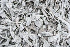 冬天与在白色树冰和冰晶形成盖的植物叶子的自然背景 免版税图库摄影