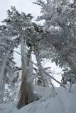 冬天与积雪的树的雪场面在登上西摩 免版税图库摄影
