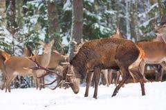 冬天与高尚的鹿鹿Elaphus的野生生物风景 许多鹿在冬天 与大垫铁的鹿有在前景的雪的 免版税库存图片