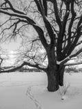 冬天乡下的单色图象 在雪礼服的多枝阴沉的古老橡树 免版税库存图片