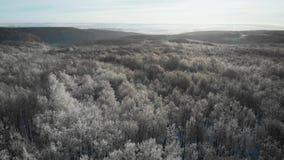 冬天云杉和杉木用雪盖的林木空中跨线桥射击,升起的落日接触在a的树上面 股票视频