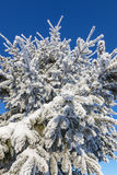 冬天云杉的结构树 免版税库存图片