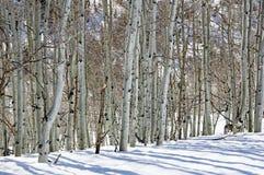 冬天亚斯本树干 免版税库存照片