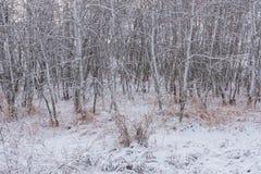 冬天亚斯本树树丛1 免版税库存图片