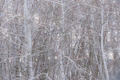 冬天亚斯本树树丛2 免版税库存图片