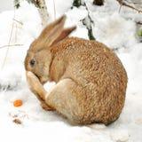 冬天兔子 库存照片